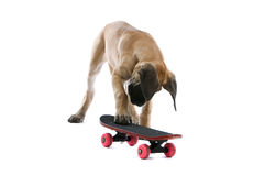 Skating Dog Royalty Free Stock Photography