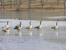 Skating on thin ice. A group of Canadian Geese walking on thin pond ice Royalty Free Stock Photos