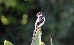 skatte- male shrike Royaltyfria Bilder
