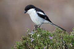 skatte- shrike för fågel Royaltyfri Bild