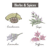 Skech spice and herbs. Set. Royalty Free Stock Photo