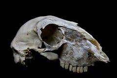 Skeep-Schädel auf schwarzem Hintergrund Lizenzfreie Stockbilder