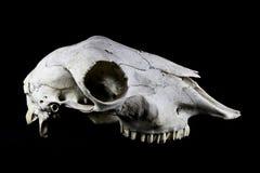 Skeep-Schädel auf schwarzem Hintergrund Stockfoto