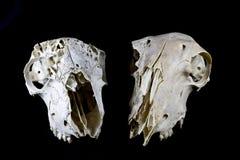 Skeep-Schädel auf schwarzem Hintergrund Stockbilder