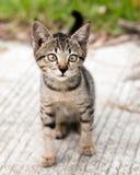 Skelögda Tabby Kitten på vägen Arkivbild