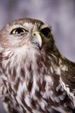 Skela Owl arkivbilder