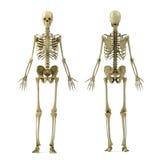 Skelet Royalty-vrije Stock Afbeelding
