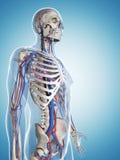 Skelet en vasculair systeem stock illustratie
