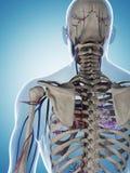 Skelet en vasculair systeem vector illustratie