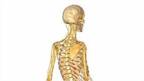 Skelet met het vaatstelsel royalty-vrije illustratie