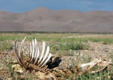 Skelet op woestijn - Mongolië Stock Afbeeldingen