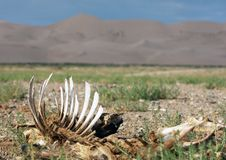Skelet sur le désert - Mongolie images stock