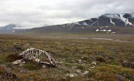 Skelet van dood rendier in noordpooltoendra Stock Fotografie