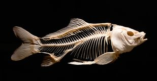 Skelet van een karpervis tegen een zwarte achtergrond wordt geïsoleerd die stock fotografie