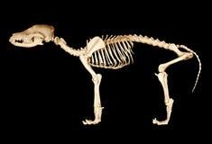Skelet van hond Stock Foto