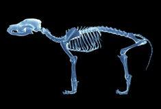 Skelet van hond stock foto's