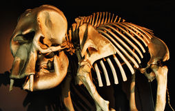 Skelet van Olifant Royalty-vrije Stock Foto's