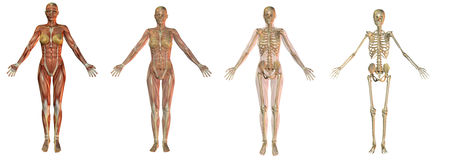 skeletal anatomikvinnlig Royaltyfri Fotografi
