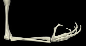Skeletal Arm, Right Angle. 3d skeletal arm, isolated, dark background Royalty Free Stock Images