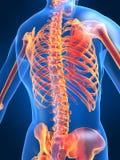 Skeletal back. 3d rendered anatomy illustration of a human skeletal back Stock Image