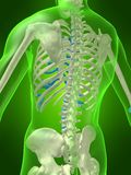 Skeletal back Stock Photo