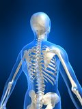 Skeletal back Royalty Free Stock Images