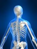Skeletal back. 3d rendered anatomy illustration of a skeletal back Royalty Free Stock Images