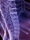 Skeletal back Royalty Free Stock Image