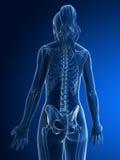 Skeletal back Stock Photo