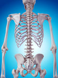 The skeletal back Stock Images