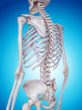 The skeletal back Royalty Free Stock Image