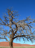 Skeletal carcase of dead tree. In desert due to drought Stock Image