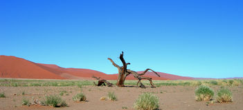 Skeletal carcase of dead tree. In desert due to drought stock images