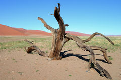 Skeletal carcase of dead tree. In desert due to drought royalty free stock photos