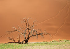 Skeletal carcase of dead tree. Due to drought in the Namib desert, Africa Royalty Free Stock Image