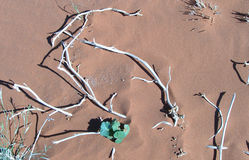 Skeletal carcase of dead tree. Due to drought in the Namib desert, Africa Royalty Free Stock Photography