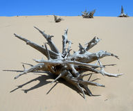 Skeletal carcase of dead tree. In desert due to drought Royalty Free Stock Photography