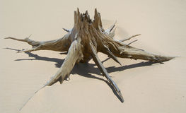 Skeletal carcase of dead tree. Due to drought on sand dune in desert Royalty Free Stock Images