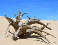 Skeletal carcase of dead tree. Due to drought on sand dune in desert royalty free stock photography