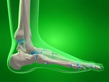 Skeletal foot stock illustration