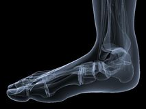Skeletal foot Stock Photography