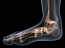 Skeletal foot Royalty Free Stock Photo