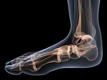 Skeletal foot. 3d rendered anatomy illustration of a human skeletal foot Royalty Free Stock Photo