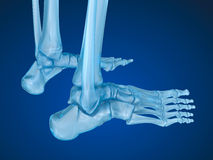 Skeletal foot , Medically accurate Stock Photography