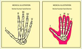 Skeletal hand Royalty Free Stock Photo