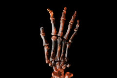 Skeletal hand. Isolated skeletal hand on a black background Royalty Free Stock Photos