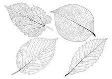 Skeletal Leaves lined design on white background vector illustration