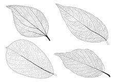 Skeletal Leaves lined on white background.  stock illustration