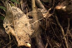 Skeletal Leaves Royalty Free Stock Images