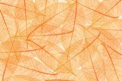 Skeletal Leaves Stock Photo